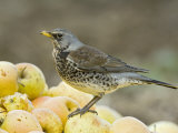 Fieldfare Feeding on Fallen Apples in Orchard, West Sussex, UK, January