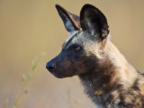 African Wild Dog, Moremi Wildlife Reserve, Botswana
