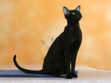 Oriental Shorthair Cat, Black Ebony