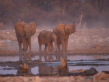 African Elephants at Water Hole, Etosha Np, Namibia
