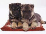 Two German Shepherd Dog Alsatian Pups, 5 Weeks Old, Lying on a Pillow