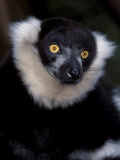 Black and White Ruffed Lemur. Shaldon Zoo, UK