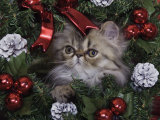 Persian Cat Brown Tabby Kitten Amongst Christmas Decorations, Texas, USA