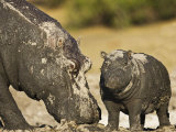 Hippopotamus Mud Covered Mother and Baby, Chobe National Park, Botswana