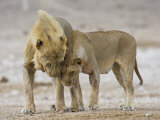 African Lion Courtship Behaviour Prior to Mating, Etosha Np, Namibia