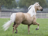 Palomino Andalusian Stallion Trotting in Paddock, Ojai, California, USA