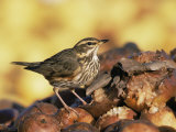 Redwing Feeding on Rotting Apples, UK