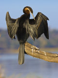 African Darter Preening Wings, Chobe National Park, Botswana