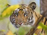 Tiger Face Portrait Amongst Foliage, Bandhavgarh National Park, India 2007