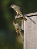 Brown-Crested Flycatcher Pair at Nest Box, Rio Grande Valley, Texas, USA