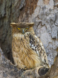 Brown Fish Owl Bandhavgarh National Park, India, 2007