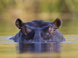 Hippopotamus, Moremi Wildlife Reserve, Botswana