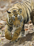 Tiger Stalking, Bandhavgarh National Park, India 2007