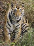 Tiger Sittingportrait, Bandhavgarh National Park, India 2007
