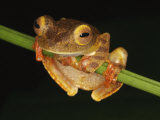 Harlequin Tree Frog on Stem of Rainforest Plant, Danum Valley, Sabah, Borneo