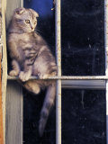 Scottish Fold Cat Balanced on Window Bar, Italy Premium Poster