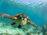 Sea Turtle, Swimming Underwater, Nosy Be, North Madagascar Premium Poster