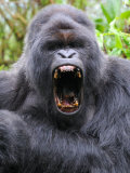 Male Silverback Mountain Gorilla Yawning, Volcanoes National Park, Rwanda, Africa