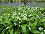 Wild Garlic Ramsons Among Bluebells in Spring Woodland, Lanhydrock, Cornwall, UK
