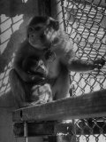 Monkeys Surviving of Bikini Atom Bomb Test, Held for Observation