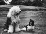 Old English Sheep Dog with Little Shih Tzu Dog