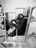 Training Chimpanzees at Hollowan Air Force Base for Trip into Space as Part of the Mercury Project