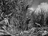 Farm Hands Working on a Sugar Cane Farm
