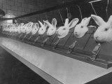 Research Lab at Eli Lilly Drug Manufacturing Plant Uses Rabbits to Test Distilled Water