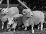 Breeding Short Legged Ancon Ram to Normal Ewe, Produces a Short Breed Lamb Which Cannot Jump Fences