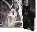 Grey Wolves Showing Fur Colour Variation, (Canis Lupus)