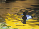 Male Lesser Scaup Duck Swimming in Water with Fall Color Reflections, Aythya Affinis, North America