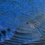 Close-Up of Male Indigo Bunting Feathers, Passerina Cyanea, North America