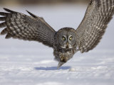 A Great Gray Owl Flying Close to Snowy Ground While Hunting, Strix Nebulosa, North America