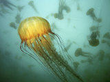 Buy Sea Nettle (Chrysaora Fuscescens) Jelly Swarm at AllPosters.com