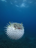 Spotted Porcupine Fish (Diodon Hystrix), Maui, Hawaii, USA