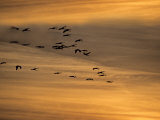 Flock of Sandhill Cranes at Sunset