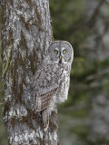 Great Gray Owl, Strix Nebulosa, North America