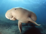 Dugong (Dugong Dugon), Indonesia