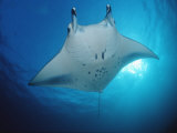 Manta Ray (Manta Birostris), Maldives Islands, Indian Ocean