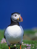 Atlantic Puffin, Fratercula Arctica, Shetland Islands, Scotland, Uk