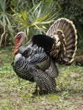 Male or Tom Osceola Wild Turkey Displaying, Meleagris Gallopavo Osceola, Florida, USA
