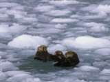 Sea Otter Group (Enydra Lutris) Swimming in Icy Water, Alaska, USA