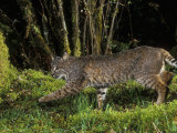 A Bobcat (Felis Rufus), Mount Hood National Forest, Oregon, USA