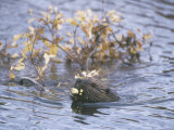 Beaver Swimming with Recently Cut Branch Gathered for Food (Castor Canadensis), North America