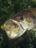 Buy Largemouth Bass with Plastic Lure Underwater at AllPosters.com