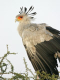 Secretary Bird (Sagittarius Serpentarius) in Acacia Tree, Tanzania
