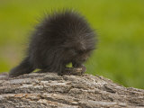 Common Porcupine Juvenile, Erethizon Dorsatum, North America