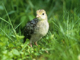 Wild Turkey Chick or Poult. Eastern USA