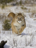 A Puma, Cougar or Mountain Lion, Running Through the Snow, Felis Concolor, North America