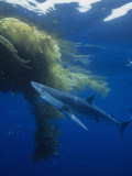 Blue Shark (Prionace Glauca) under a Mass of Drifting Kelp (Macrocystis), California, USA